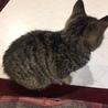 生後3か月位のキジトラ♀ サムネイル3