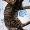 淡路島から猫を迎えてくださる方募集しています サムネイル4