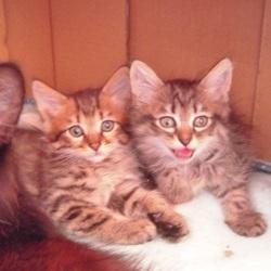 「FIPにより家族の半分を失った子猫のお話、、その1」サムネイル2