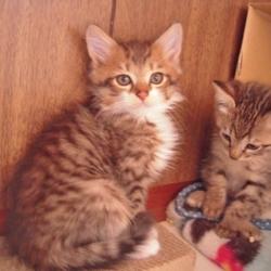 「FIPにより家族の半分を失った子猫のお話、、その1」サムネイル3