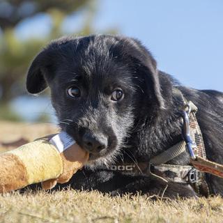 マイペースなスタンダードプードルMixの仔犬です