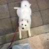 日本スピッツの子犬 サムネイル2