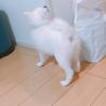 日本スピッツの子犬 サムネイル4