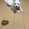 日本スピッツの子犬 サムネイル3