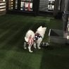 日本スピッツの子犬 サムネイル5