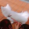 日本スピッツの子犬 サムネイル6