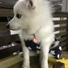 日本スピッツの子犬 サムネイル7