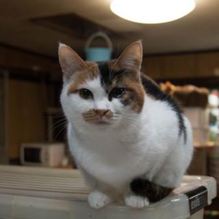 大人しく飼いやすい猫です。