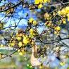 蝋梅(寒い冬に寄り添いやさしく香る)