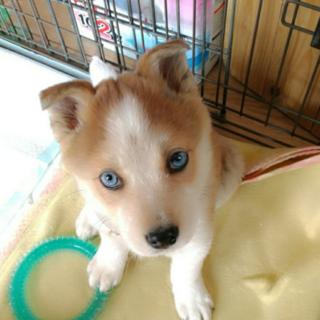 ハスキーMIX?青い眼のコウちゃん  2ヶ月