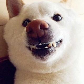 「お父さん」とそっくり、白い柴犬ちゃん