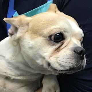 フレンチブルドッグの成犬