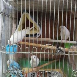 4羽のセキセイちゃん