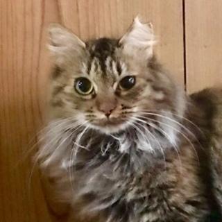 こわがりでシャイな長毛の美人猫、マーガレット