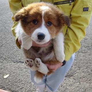 緊急募集!!モフモフ系2カ月の兄妹子犬たち