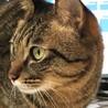 キジトラハンサム成貓の家族募集中 サムネイル2