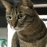 キジトラハンサム成貓の家族募集中 サムネイル4