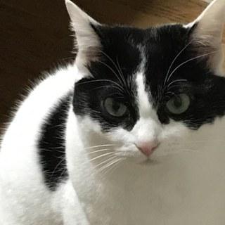 きりっとした白黒成貓(♀)