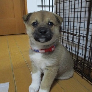 生後1ヶ月半可愛い子犬の女の子すいちゃん