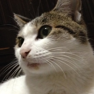 可愛らしいお顔の成猫です