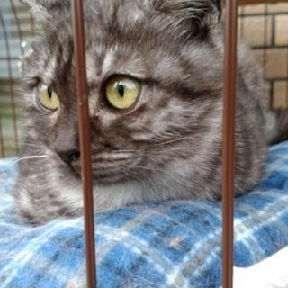 スモークサバトラ子猫