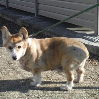 【高齢犬】コーギー△余生は穏やかに