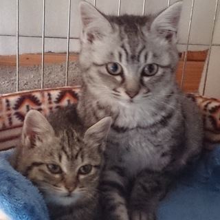 (一時停止中)  洋猫ミックス 銀と茶の兄妹