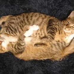 FIPにより家族の半分を失った子猫のお話、、その2