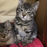 3匹の子猫ちゃんの里親さんを募集してます! サムネイル7