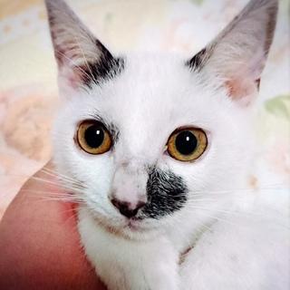 約3ヶ月 お目目パッチリ白黒猫☆みゅう☆