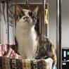 人が好きな三毛猫の女の子プリンちゃん サムネイル3