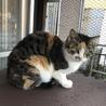 人が好きな三毛猫の女の子プリンちゃん サムネイル5