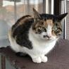 人が好きな三毛猫の女の子プリンちゃん サムネイル6