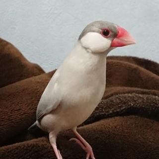 シルバー文鳥♂銀くん