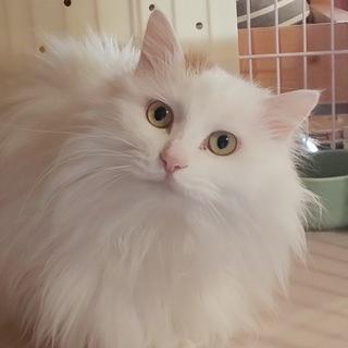 長毛白三毛の美猫ヤヤちゃんと茶白オオくん