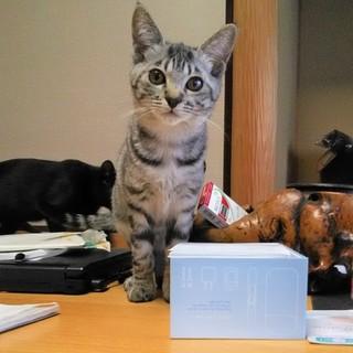 怖がり猫の飼育経験がある方
