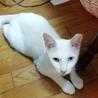 白猫 オッドアイのソラ君 2歳オス