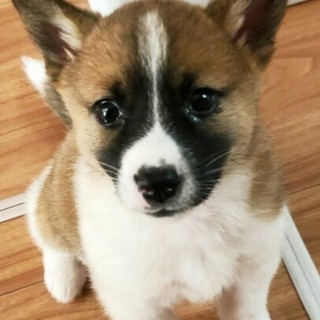 生後2ヶ月可愛いMIX子犬の女の子