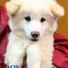 M29:真っ白フワフワ子犬ちゃん
