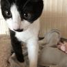 人馴れしたハチワレの子猫です