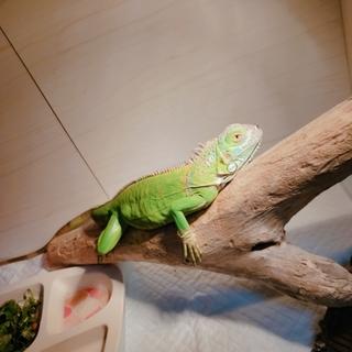 可愛いグリーンイグアナのイグ!