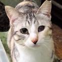 きれいなグレーとオレンジの三毛猫 小桃ちゃん