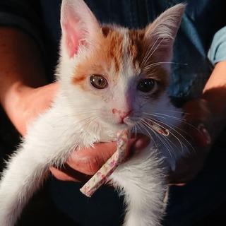 【交渉中】子猫のイチくん生後2か月オス。