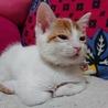 【交渉中】子猫のイチくん生後2か月オス。 サムネイル4