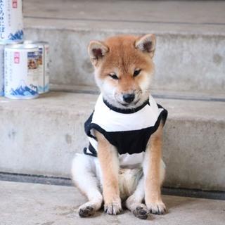 柴犬 メス 約9ケ月