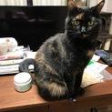 大きな手術を乗り越えた美人サビ猫ちゃんです!