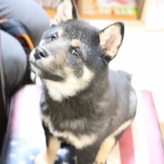 黒柴犬 3ケ月半 メス