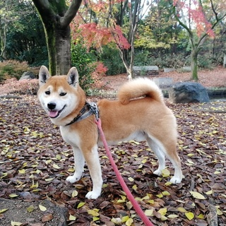 京都はんなり柴犬「へいちゃん」、緊急里親募集❗