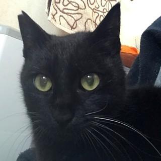 甘えん坊の黒猫の家族を探しています