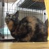 美形でツンデレなサビ猫ランちゃん サムネイル2